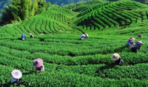 Best time to visit Ooty; Tea factory