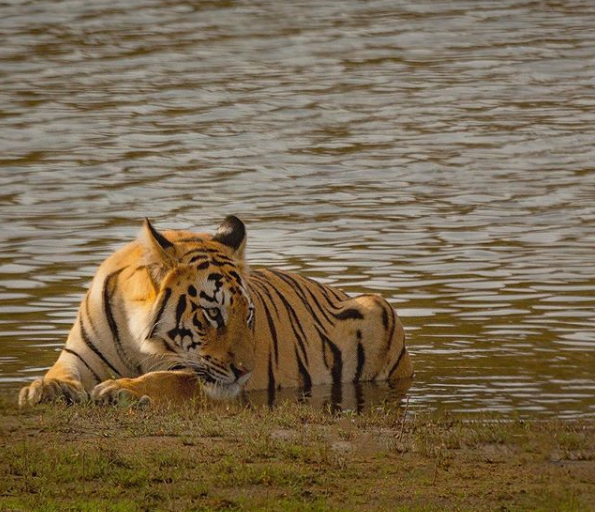 tiger reserves in India; Tadoba National Park, Maharashtra