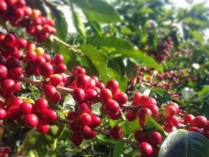 Coffee plantation at Coorg
